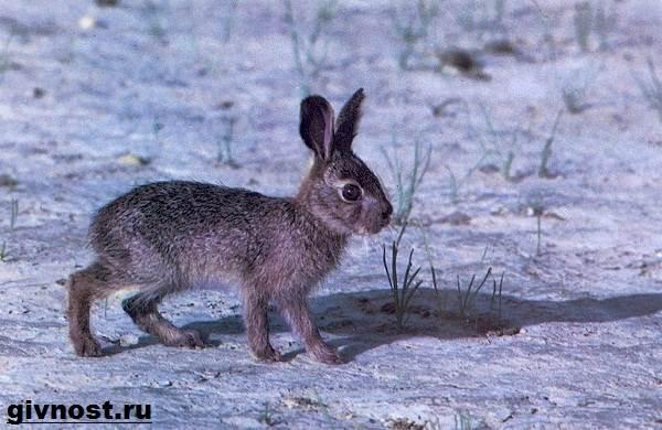 Зайцы- описание, среда обитания, чем питаются, сколько живут
