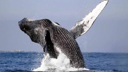 Гренландский кит животное. Образ жизни и среда обитания гренландского кита
