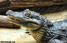 Кайман крокодил. Образ жизни и среда обитания каймана