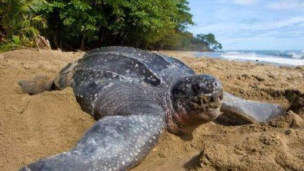 Кожистая черепаха. Образ жизни и среда обитания кожистой черепахи