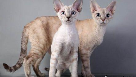 Редкие породы кошек, их описание и особенности