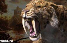 Саблезубый тигр. Описание, особенности и среда обитания саблезубых тигров