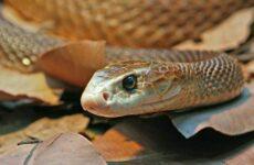 Тайпан змея. Образ жизни и среда обитания змеи тайпан