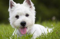 Вест хайленд уайт терьер собака. Описание, характер и уход за вест хайленд уайт терьером