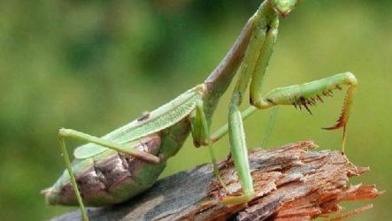 Богомол насекомое. Образ жизни и среда обитания богомола