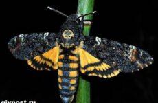 Бражник бабочка насекомое. Образ жизни и среда обитания бражника