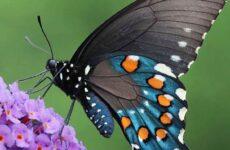 Махаон бабочка насекомое. Образ жизни и среда обитания махаона