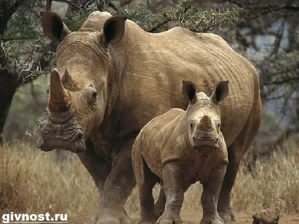 Носорог-животное-Образ-жизни-и-среда-обитания-носорога-11