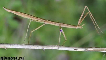 Палочник насекомое. Образ жизни и среда обитания палочника