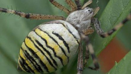Паук агриопа. Образ жизни и среда обитания агриопы