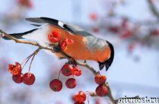 Снегирь птица. Образ жизни и среда обитания снегиря