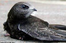 Стриж птица. Образ жизни и среда обитания стрижей