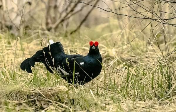 Тетерев-птица-Образ-жизни-и-среда-обитания-тетерева-15