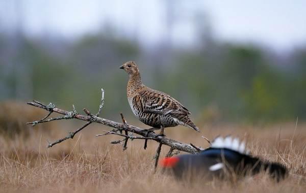 Тетерев-птица-Образ-жизни-и-среда-обитания-тетерева-17