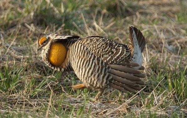 Тетерев-птица-Образ-жизни-и-среда-обитания-тетерева-18