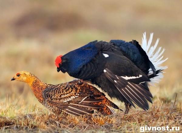 Тетерев-птица-Образ-жизни-и-среда-обитания-тетерева-2