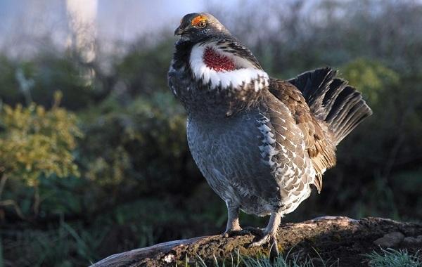Тетерев-птица-Образ-жизни-и-среда-обитания-тетерева-20