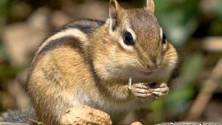 Бурундук животное. Образ жизни и среда обитания бурундука