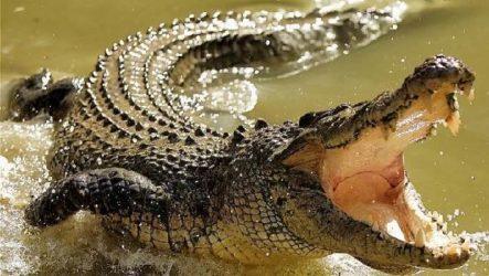 Гребнистый крокодил рептилия. Образ жизни и среда обитания гребнистого крокодила