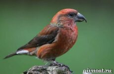 Клест птица. Образ жизни и среда обитания клеста