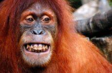 Орангутанг обезьяна. Образ жизни и среда обитания орангутанга