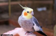 Попугай корелла птица. Описание, особенности, уход и цена попугая корелла