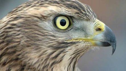 Ястреб птица. Образ жизни и среда обитания ястреба