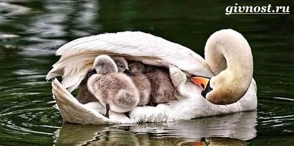 Лебедь-птица-Образ-жизни-и-среда-обитания-лебедя-8
