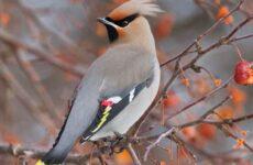 Свиристель птица. Образ жизни и среда обитания свиристелей