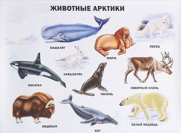 Животные-Арктики-Описание-названия-и-особенности-животных-Арктики