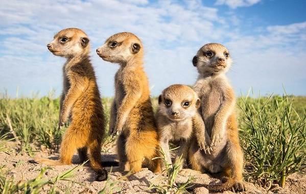 Животные-пустыни-Описания-названия-и-особенности-животных-пустыни-18