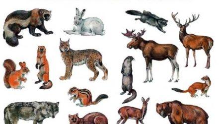 Животные тайги. Описание, названия и особенности животных тайги