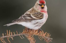 Чечетка птица. Описание, особенности, виды и среда обитания чечетки