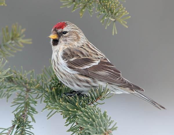 Чечетка-птица-Описание-особенности-виды-и-среда-обитания-чечетки-4
