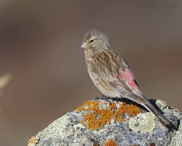 Чечетка-птица-Описание-особенности-виды-и-среда-обитания-чечетки-5
