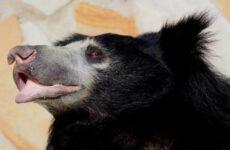 Медведь губач. Образ жизни и среда обитания медведя губача