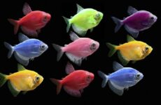 Тернеция карамелька рыбка. Описание, особенности, виды и уход за тернецией