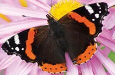 Бабочка адмирал. Описание, особенности, виды и среда обитания бабочки адмирал
