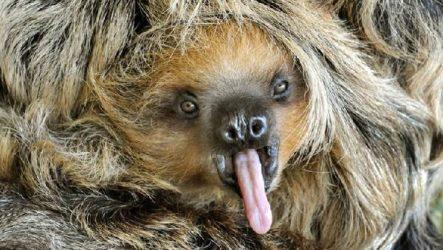 Ленивец животное. Образ жизни и среда обитания ленивца