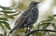 Птица скворец. Образ жизни и среда обитания скворца