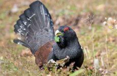 Глухарь птица. Образ жизни и среда обитания глухаря