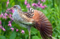 Коростель птица. Описание, особенности, образ жизни и среда обитания коростеля