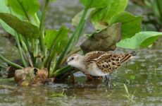 Кулик птица. Образ жизни и среда обитания кулика