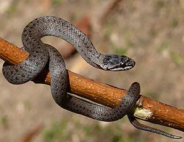Медянка-змея-Образ-жизни-и-среда-обитания-медянки-4