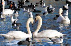 Водоплавающие птицы. Описание, названия и особенности водоплавающих птиц