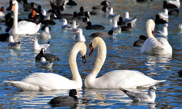 Водоплавающие-птицы-Описание-названия-и-особенности-водоплавающих-птиц-1