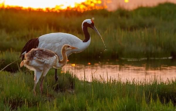 Водоплавающие-птицы-Описание-названия-и-особенности-водоплавающих-птиц-101