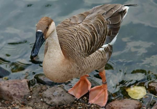 Водоплавающие-птицы-Описание-названия-и-особенности-водоплавающих-птиц-14