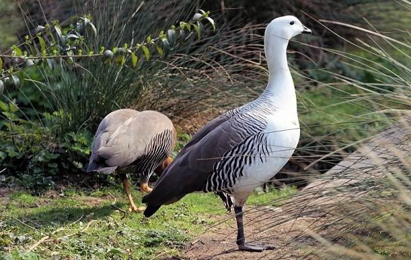 Водоплавающие-птицы-Описание-названия-и-особенности-водоплавающих-птиц-17