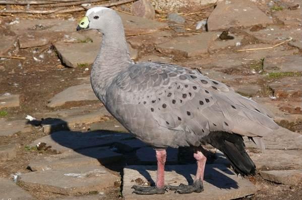 Водоплавающие-птицы-Описание-названия-и-особенности-водоплавающих-птиц-18
